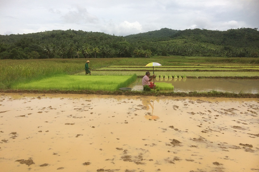 Traditional rice production system (Borongan, Eastern Samar)